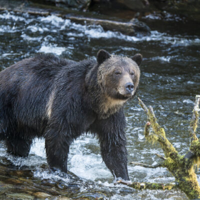 Grizzly bear at Broughton Archipelago Prv Park Credit Dest BC Ted Hessed