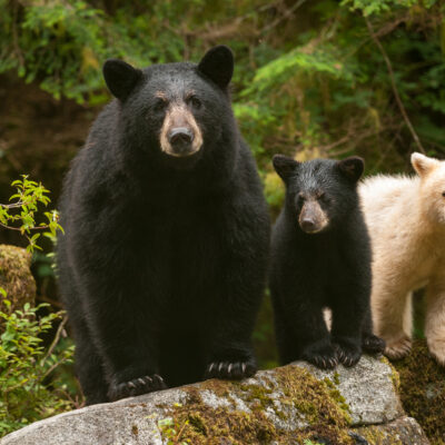 Mama bear and cubs in Great Bear Rainforest Credit Ian Mc Allister of Pacific Wild